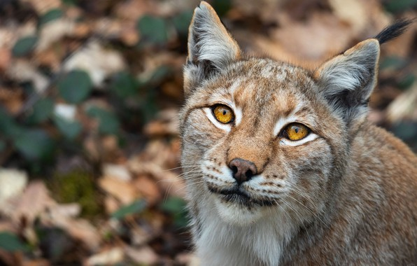 Picture look, face, background, portrait, spot, lynx, wild cat, bokeh, yellow eyes, blurred