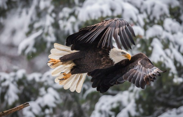 Picture bird, wings, flight, bokeh, Bald eagle