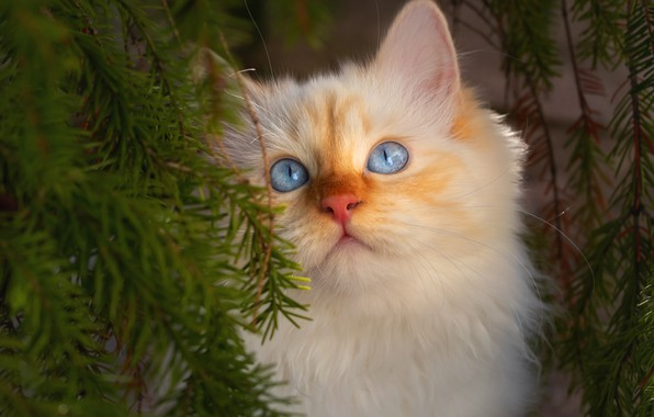 Picture cat, needles, branches, portrait, muzzle, kitty, blue eyes, cat