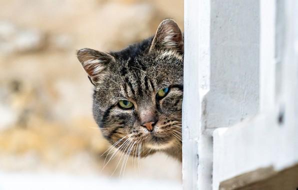 Picture cat, look, muzzle, Kote, bokeh