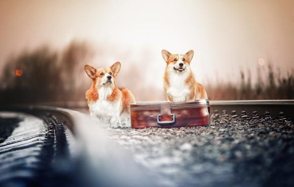 Picture railroad, suitcase, a couple, bokeh, two dogs, Welsh Corgi, Natalia Ponikarova