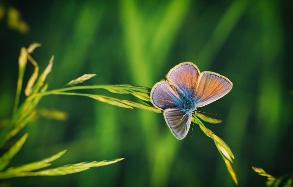 Picture summer, macro, nature, butterfly, insect, a blade of grass