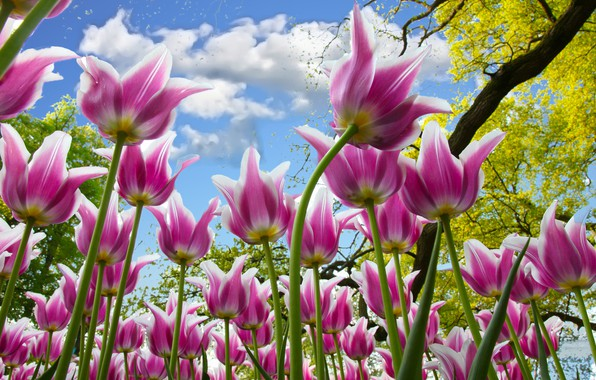Picture the sky, branches, tulips, pink, a lot