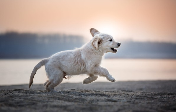 Picture forest, white, look, the sun, joy, nature, pose, fog, river, background, jump, shore, dog, morning, …