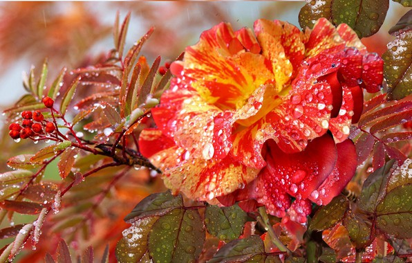 Picture drops, Rosa, ROSE, AUTUMN. ROWAN