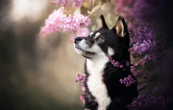 Picture face, dog, husky, lilac, bokeh