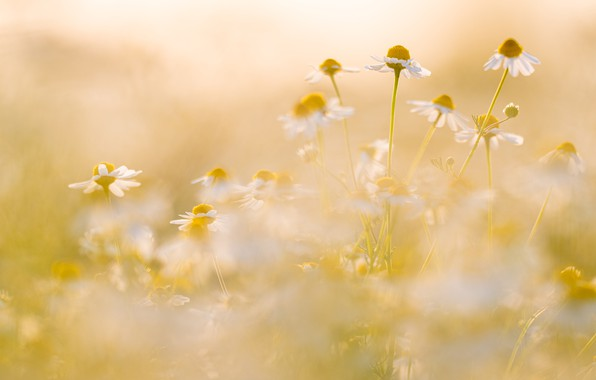 Picture summer, flowers, mood, glade, chamomile, blur, white, yellow background, bokeh