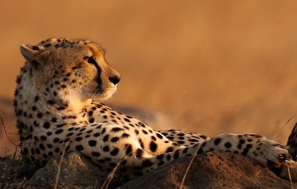 Picture background, relax, Cheetah, wild cat