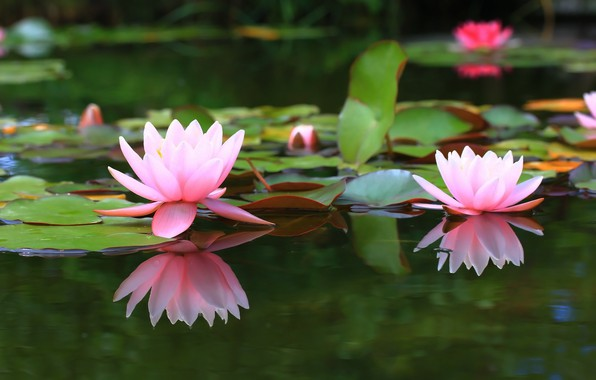 Picture pond, background, water lilies, water Lily