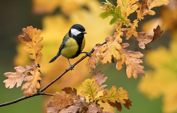 Picture leaves, background, bird, branch, oak, tit