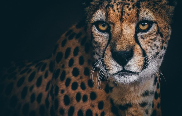 Picture look, portrait, Cheetah
