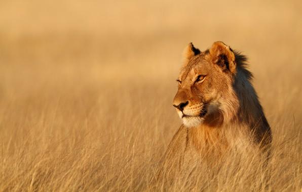 Picture field, grass, look, face, background, stems, portrait, Savannah, lioness, wild cat