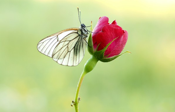 Picture butterfly, rose, belyanka