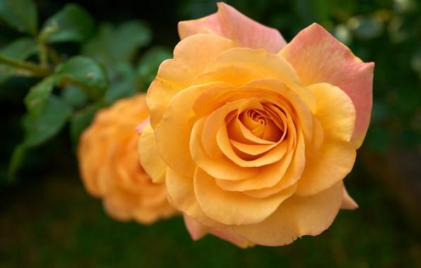 Picture macro, rose, orange, petals