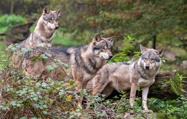 Picture autumn, forest, leaves, branches, nature, thickets, wolf, pack, three, wolves, log, grey, trio, three wolves