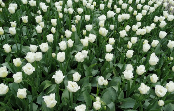 Picture flowers, tulips, white, flowerbed