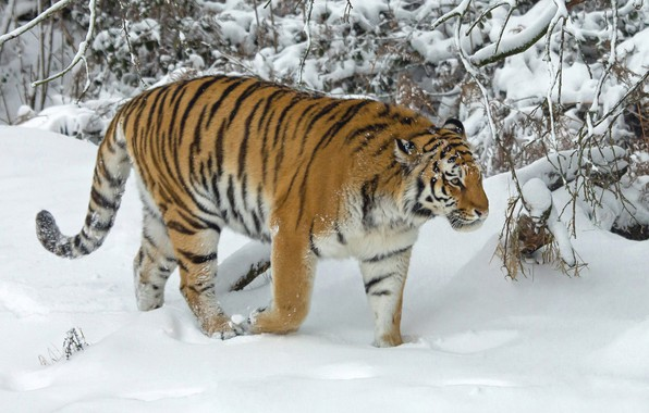 Picture winter, snow, trees, tiger, wild cat