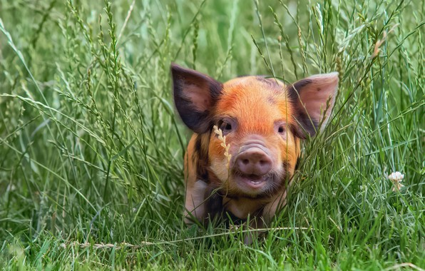 Picture grass, pig, pig, pig, pig, pig, pig, kabanosy, saumensch