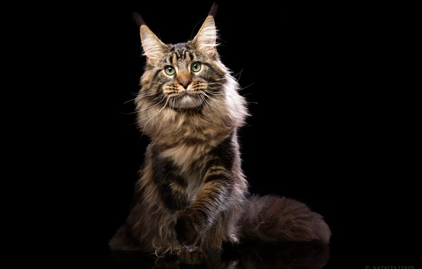 Picture cat, look, portrait, fluffy, black background, Maine Coon, Natalia Lays