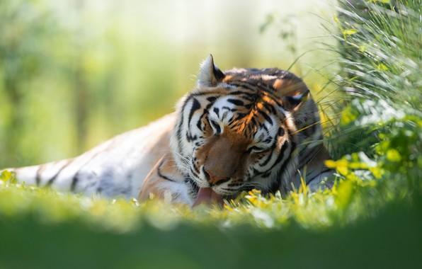 Picture grass, tiger, predator, wild cat, Svetlana Pisareva