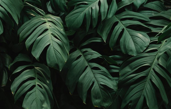 Picture beautiful, green leaves, monstera