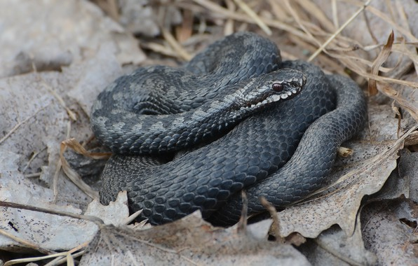 Picture nature, snake, spring, reptile, the adder