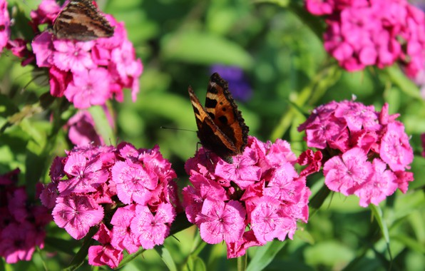 Picture flowers, nature, pink, spring, Butterfly, carnation