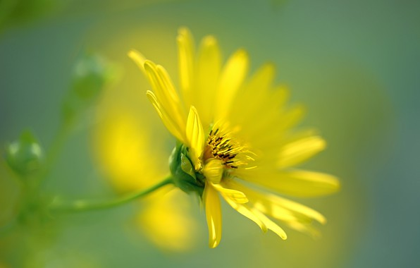 Picture flower, yellow, bokeh