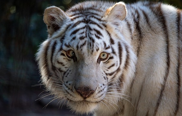 Picture look, face, tiger, white tiger, wild cat