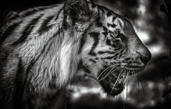 Picture face, tiger, portrait, black and white, profile, wild cat, monochrome