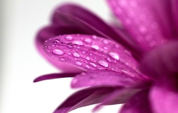 Picture macro, drop, petals, petal, flower, water drops, chrysanthemum