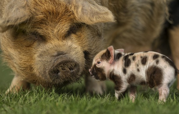 Picture grass, pig, little, pigs