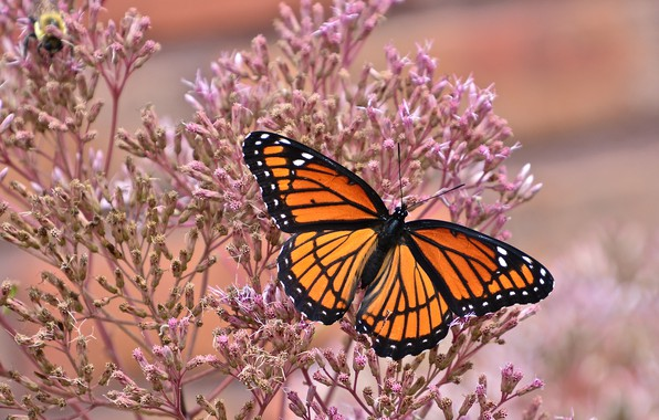 Picture macro, butterfly, The monarch