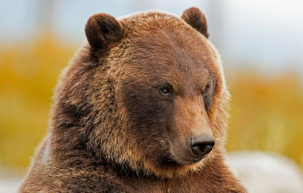 Picture face, portrait, bear, beast, grizzly