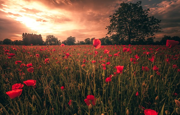 Picture field, summer, the sky, clouds, light, trees, landscape, sunset, flowers, nature, Mac, Maki, the evening, …