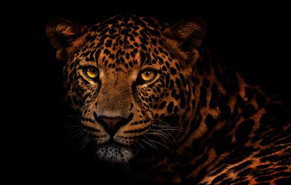 Picture eyes, look, face, close-up, portrait, leopard, black background, wild cat, Golden eyes