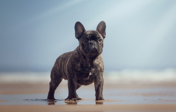 Picture beach, look, dog, bokeh, French bulldog, burly
