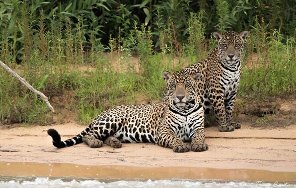 Picture sea, predators, jaguars
