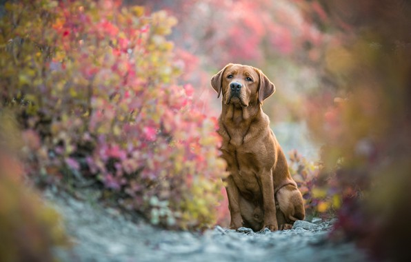 Picture autumn, look, face, leaves, branches, nature, pose, stones, background, foliage, dog, blur, paws, sitting, Labrador, …