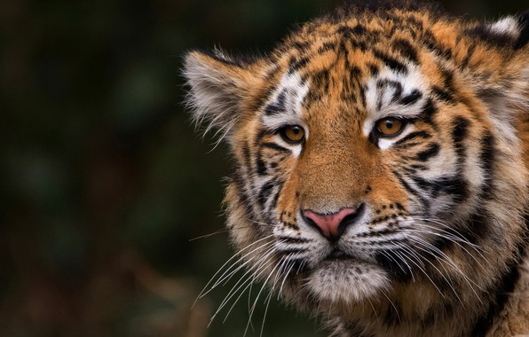 Picture cat, animals, look, face, close-up, nature, tiger, the dark background, portrait, wild cat, tiger, tiger, …