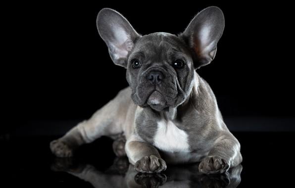 Picture dog, French bulldog, puppy francescopaolo, щенокголубогофранцузскогобульдога