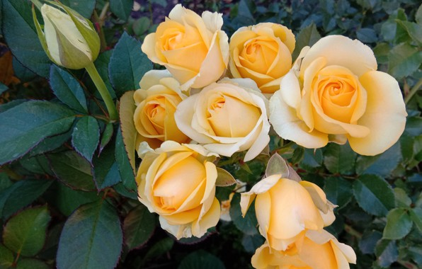 Picture rose, yellow, gentle