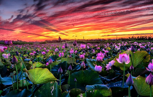 Picture field, the sky, leaves, clouds, landscape, sunset, flowers, nature, lake, pond, paint, pink, bright, buds, …