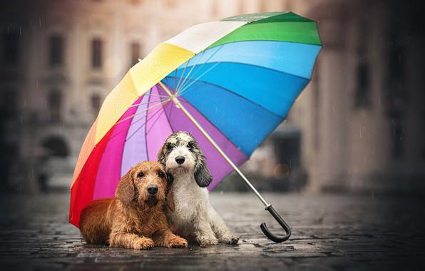 Picture dogs, street, umbrella