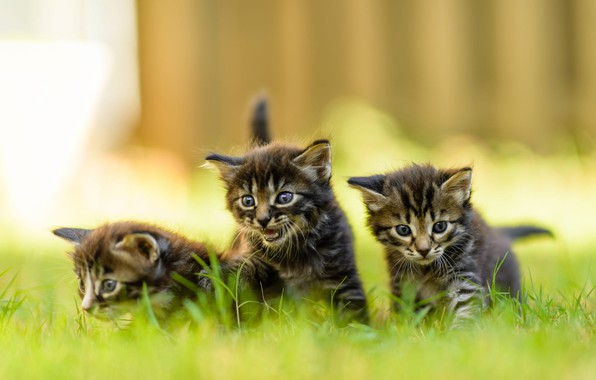 Picture summer, grass, look, nature, the fence, blur, small, kittens, three, walk, kids, grey, trio, green ...