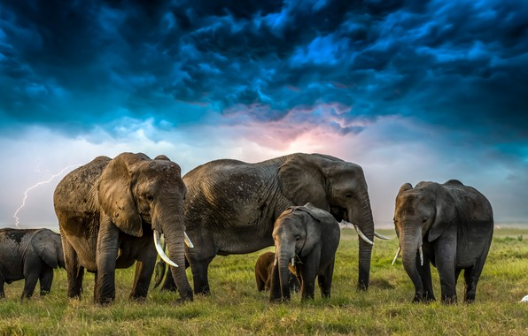 Picture grass, clouds, lightning, elephants, Heron, elephants