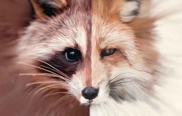 Picture art, Fox, raccoon, fox, art, oil