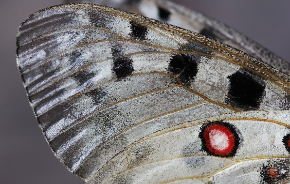 Picture macro, butterfly, wings, the wings of a butterfly