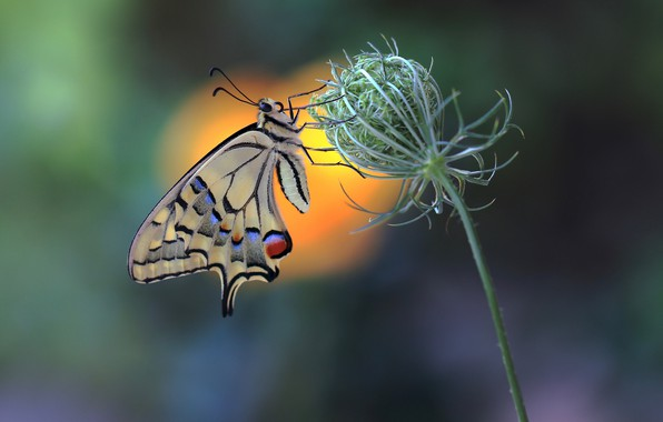 Picture butterfly, butterfly, swallowtail