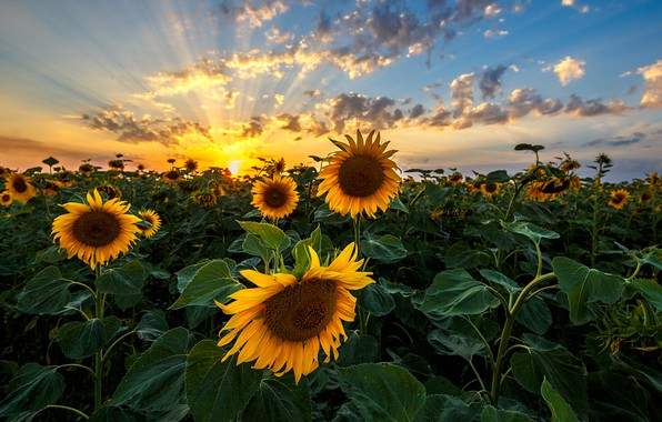 Picture sunset, plants, sunflowers